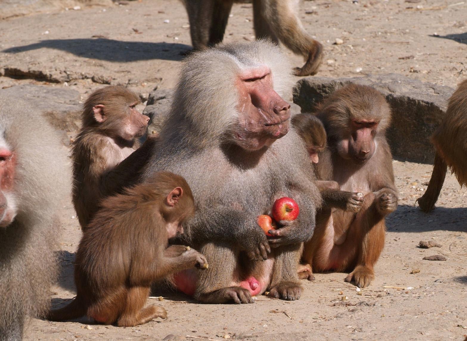 фото самки обезьяны